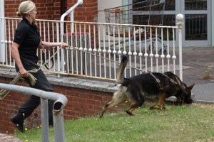 A dog handler with a police dog search grounds of some buildings