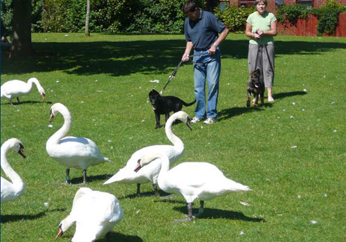 Police puppy Jack and Zeta with swans