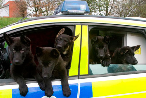 Puppies in a police car