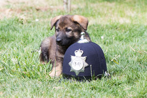 Puppy laying down next to a police helmet