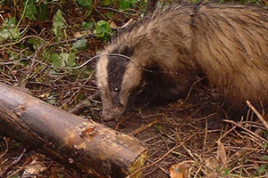 A badger in the woods with some wire around his neck