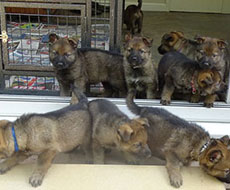 9 force  puppies